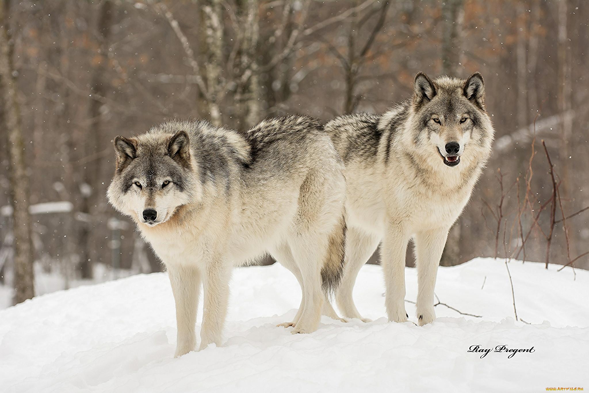 сцена сибирский волк зимой фото она поможет тебе